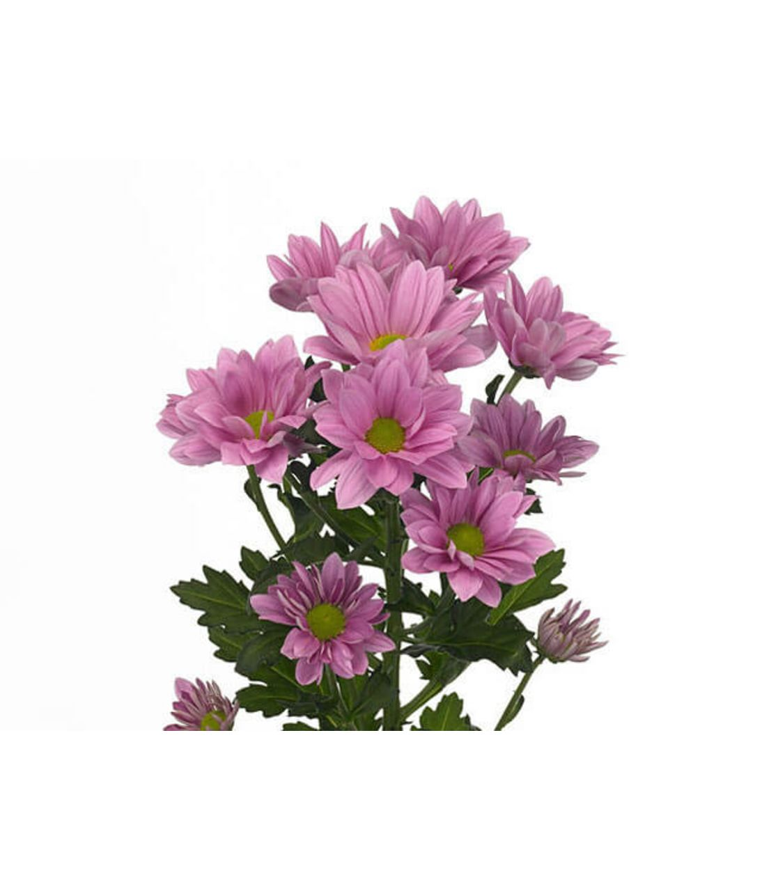 Хризантема розовая (ветка). Superflowers.com.ua