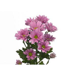 Хризантема розовая (ветка)