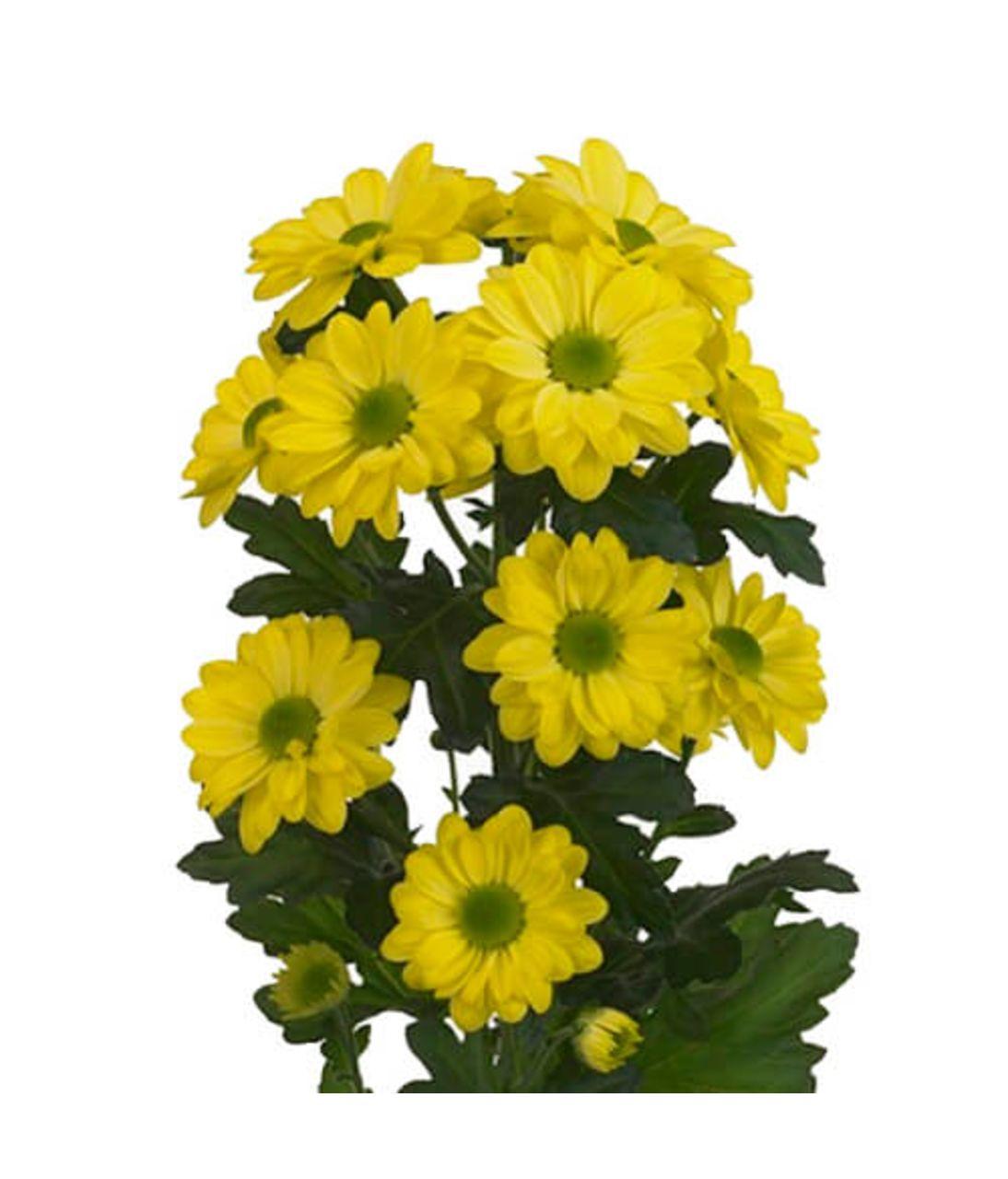 Хризантема жовта (гілка). Superflowers.com.ua