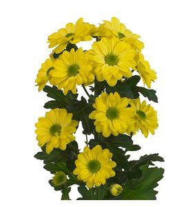 Хризантема желтая (ветка)