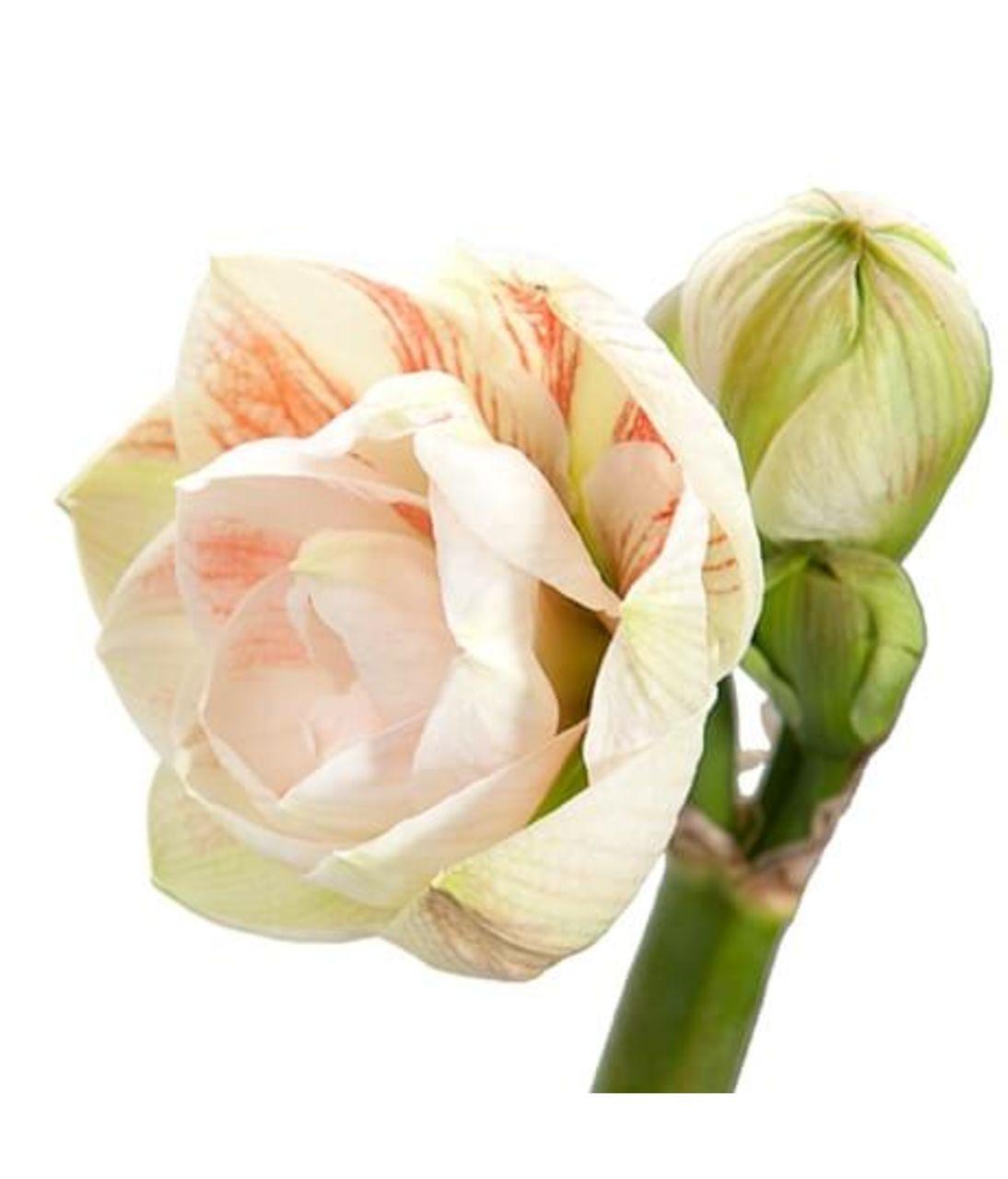 Амариллис. Superflowers.com.ua