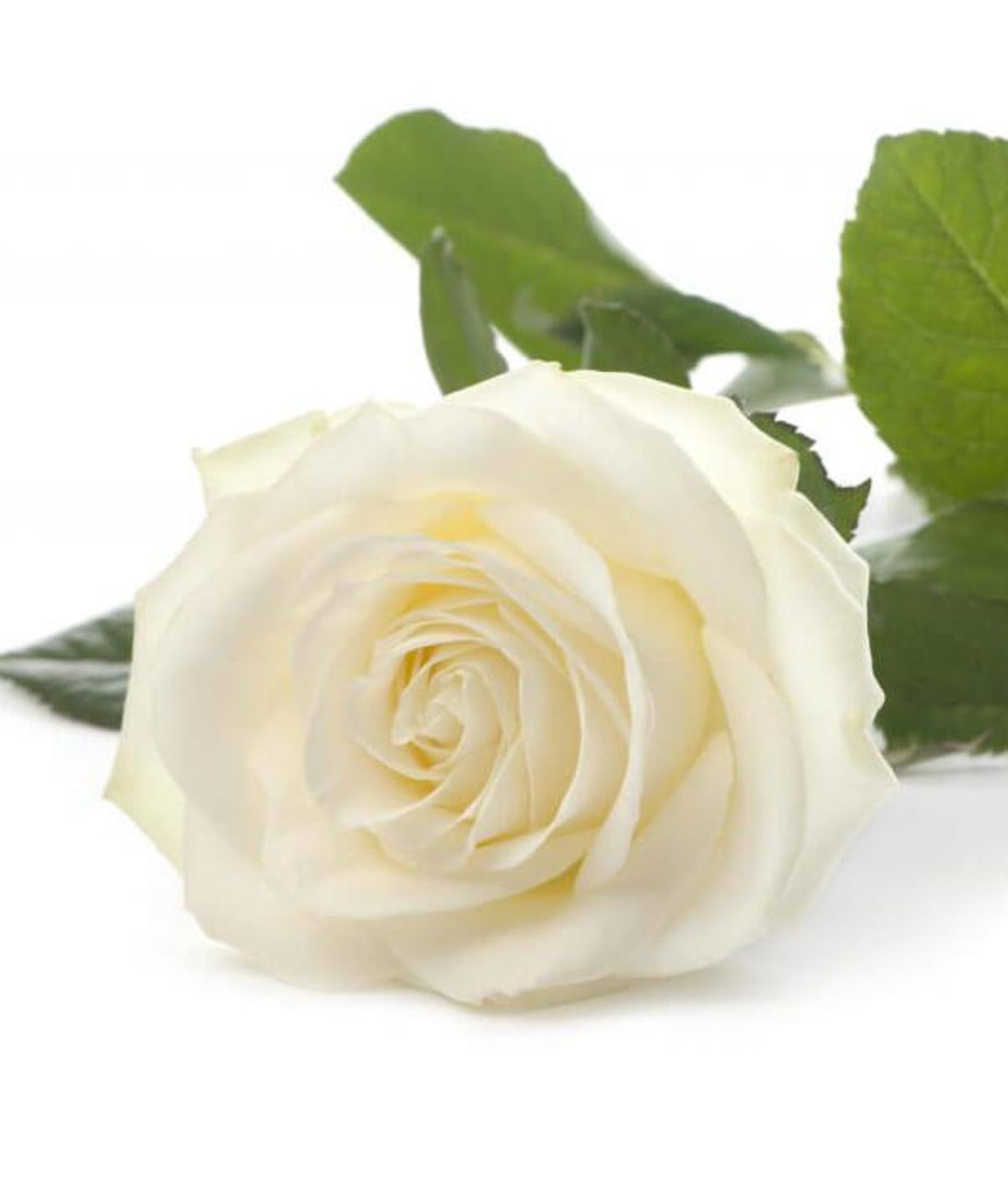 Біла троянда поштучно. Superflowers.com.ua