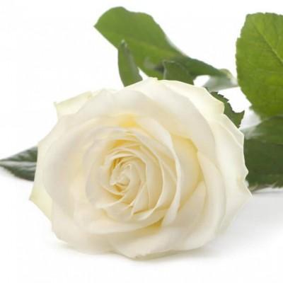 Белая роза поштучно