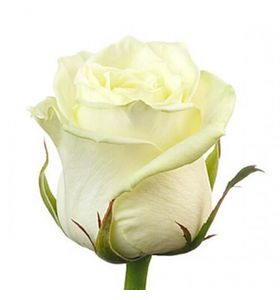 Белая роза премиум (импорт)