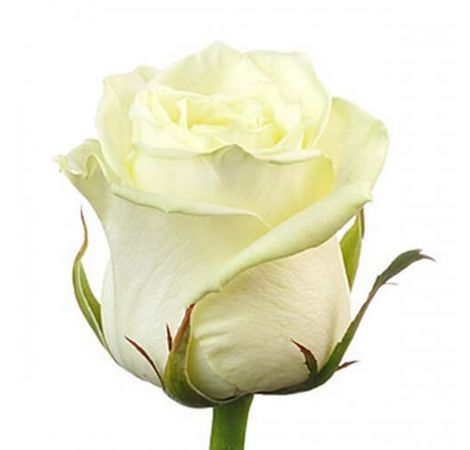 Белая роза премиум (импорт). Superflowers.com.ua