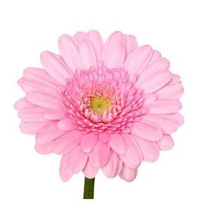 Гербера. Superflowers.com.ua