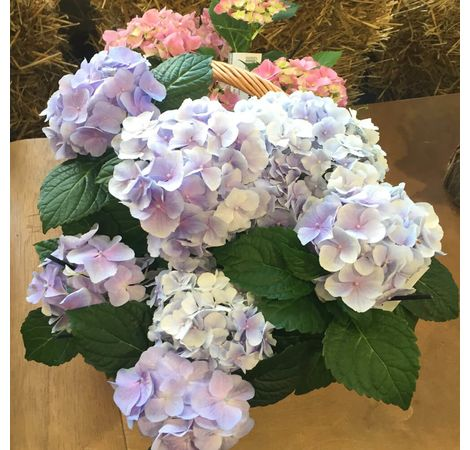 "Подарочная корзина с гортензией ""Сиреневый рай"". Superflowers.com.ua"