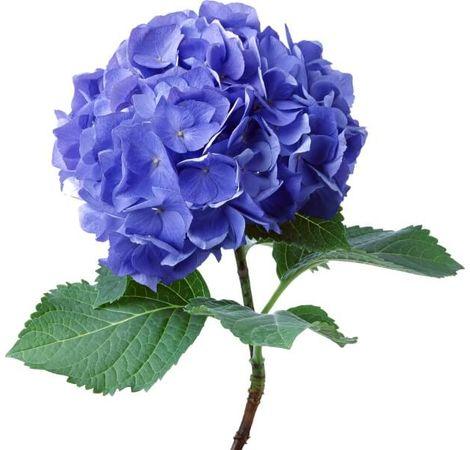 Гортензія. Superflowers.com.ua