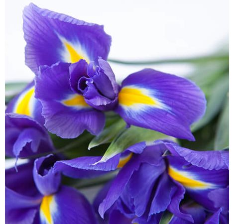 Ирис поштучно. Superflowers.com.ua