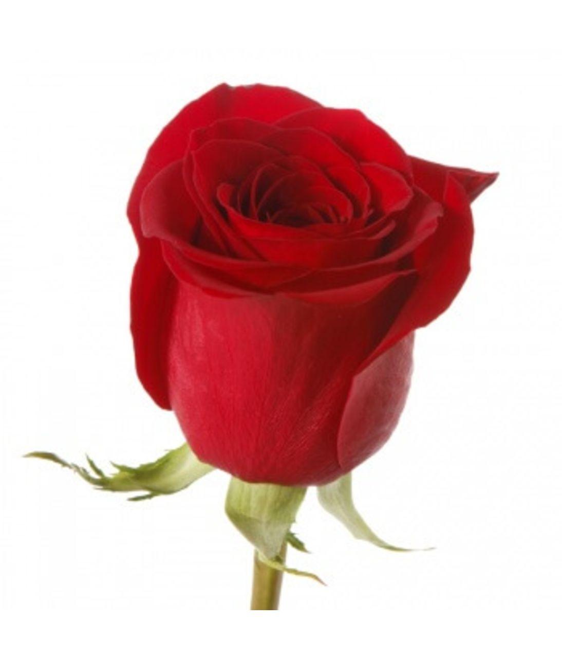 Красная роза премиум (импорт). Superflowers.com.ua