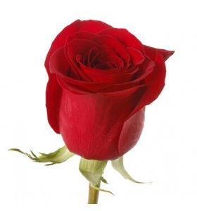 Червона троянда преміум (імпорт)