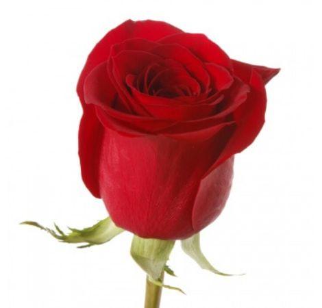 Червона троянда преміум (імпорт). Superflowers.com.ua