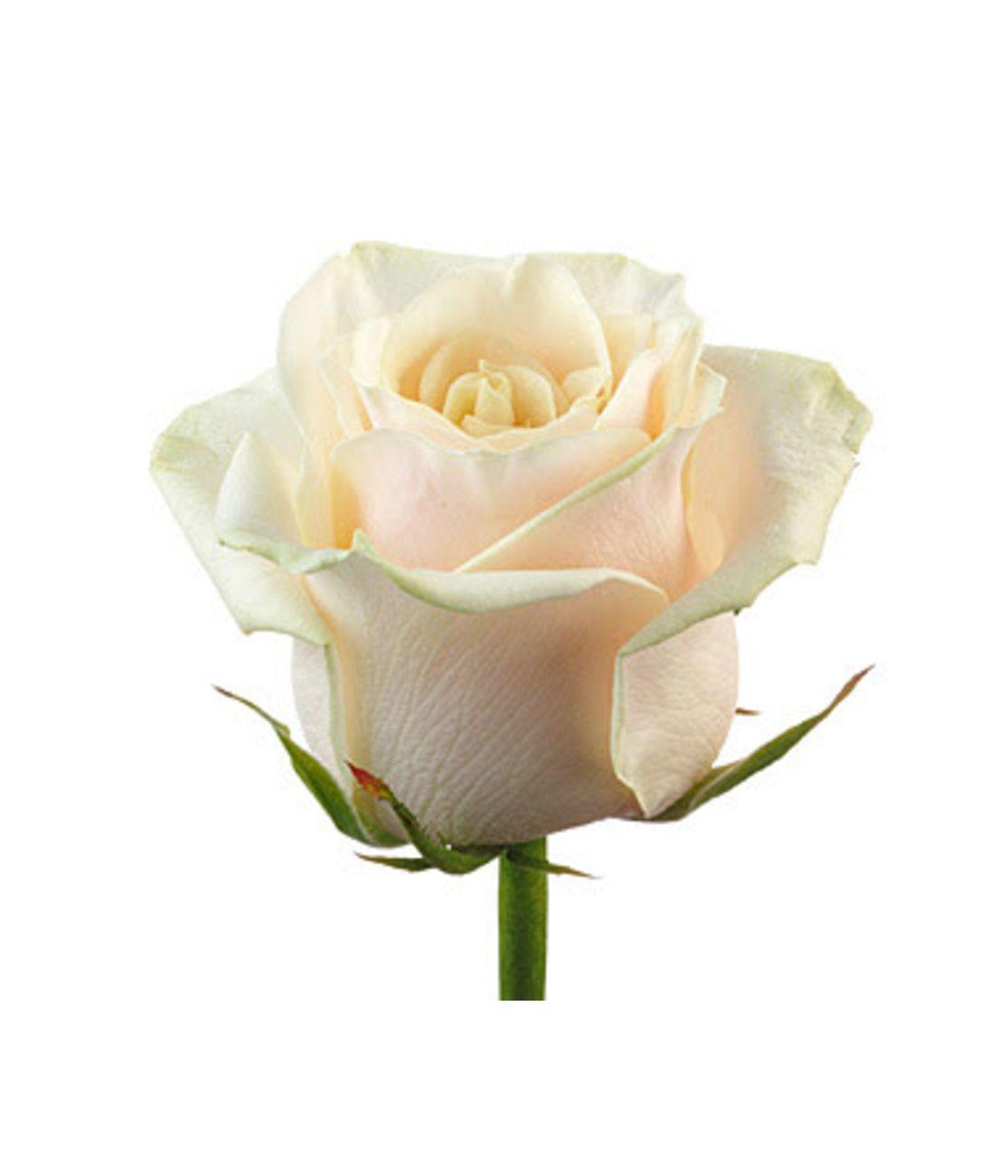 Кремовые розы поштучно. Superflowers.com.ua